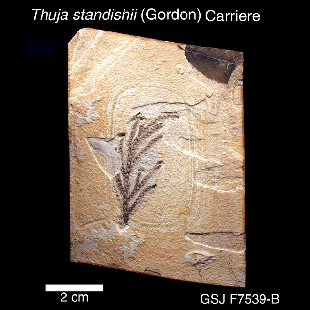 クロベ 植物化石標本 / クロベ | 地質標本鑑賞会 地質標本館トップへ戻る お問い合わせ To
