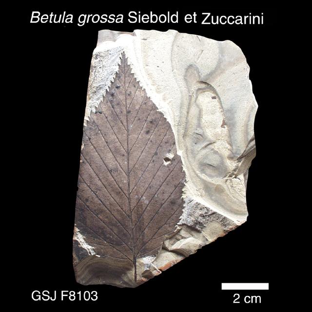 ミズメ 植物化石標本 / ミズメ | 地質標本鑑賞会 地質標本館トップへ戻る お問い合わせ To