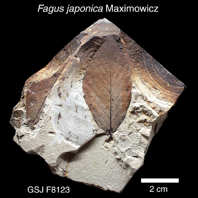 イヌブナ 植物化石標本 / イヌブナ | 地質標本鑑賞会 地質標本館トップへ戻る お問い合わせ